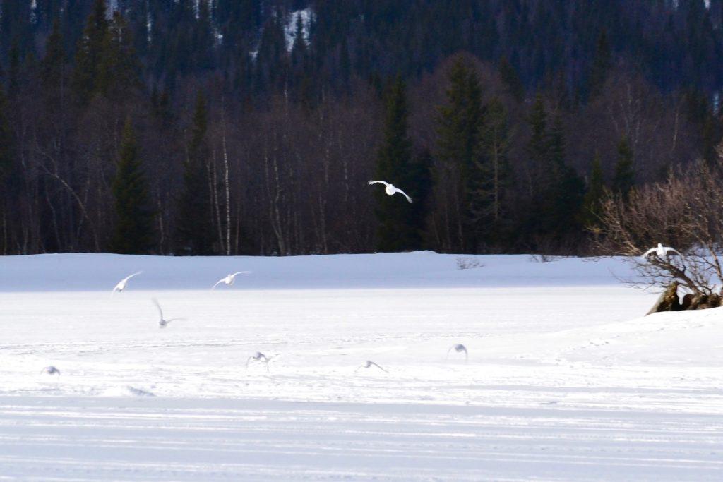 Ripor flyger över Åkersjöns is Foto LakeHouse Media